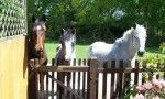 Ponies in Totton Gardens