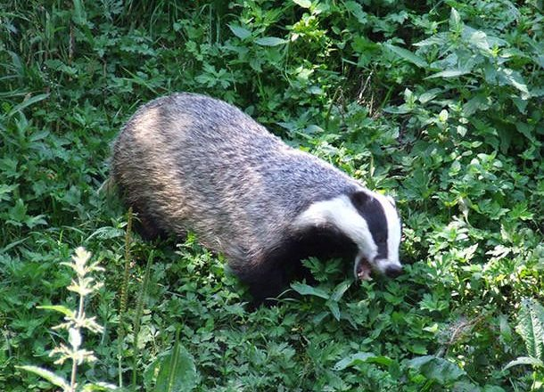 The Cost of the Badger Cull