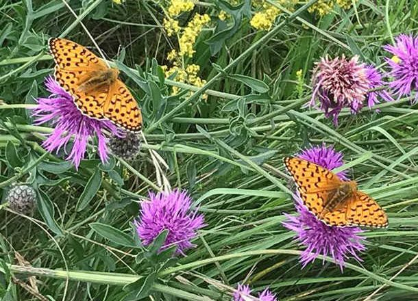 Butterfly Identification