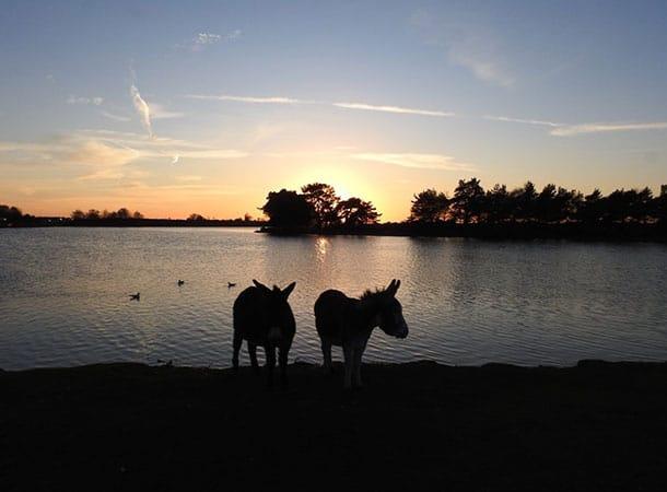 Donkies At Hatchet Pond