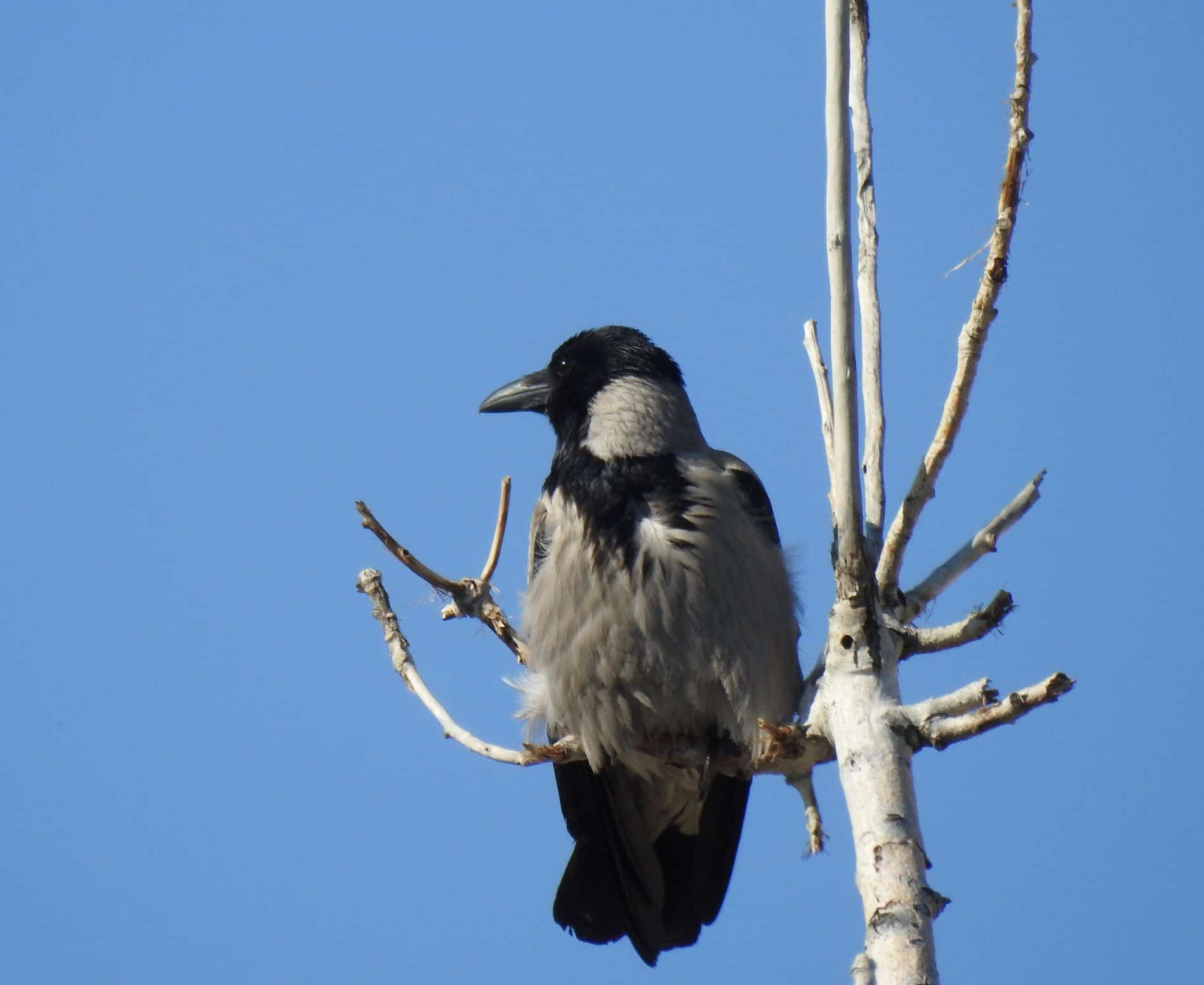 Hooded Crow...