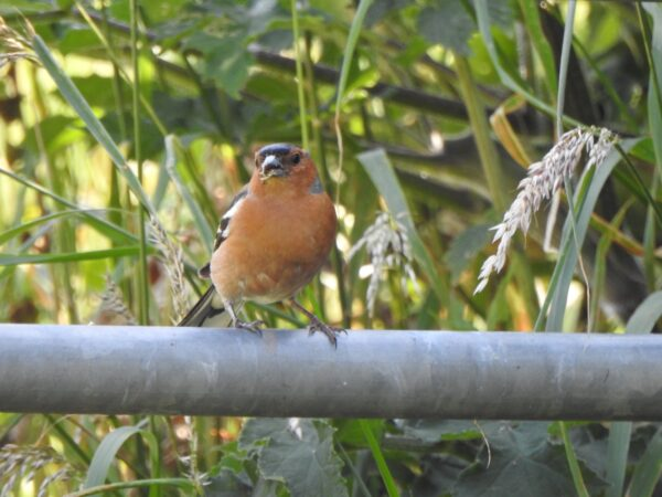 The Chaffinch Challenge...