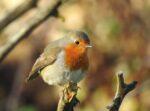 Little Robin Orange Breast...